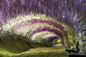 wisteria-tunnel-more-colors
